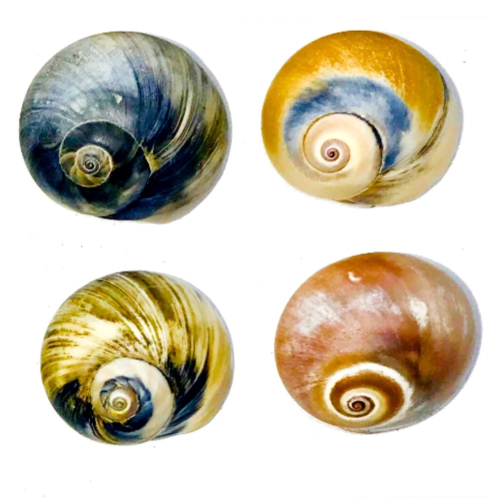"""THE OTHER TIDE - 4 Hermit Crab Shells - Medium (0.75"""" to 1.5"""" Shells:0.5"""" to 0.75"""" openings) - NATURALLY SCENTED FROM HERMIT CRABS' WILD HABITAT IS GUARANTEED TO ATTRACT HERMIT CRABS TO CHANGE SHELLS"""