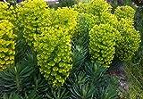 P061S. Euphorbia characias subsp. Wulfenii - 30 Seeds