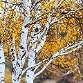 White Paper Birch Tree Seeds (Betula papyrifera) 20 Seeds