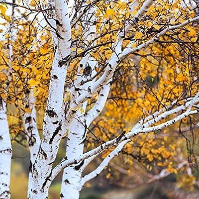 White Paper Birch Tree Seeds (Betula papyrifera) 20 Seeds : Garden & Outdoor