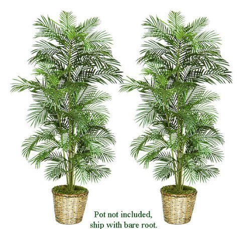 Tropical Areca Palm Tree - 7