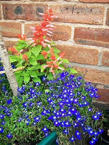 the-dirty-gardener-lobelia-erinus-half-moon-flowers-200-seeds