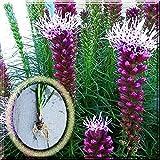Purple Blazing Star Liatris Spicata Gayfeather 1~10 Plant Large Bulb (4 Bulbs)