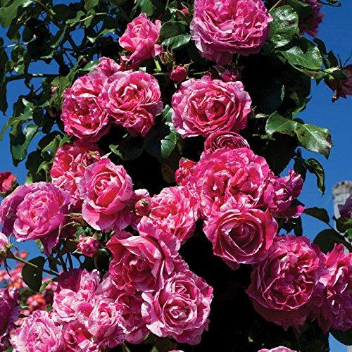 Raspberry Cream Twirl Rose Bush Reblooming Fragrant Climbing Rose Grown Organic 4
