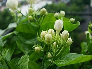 SA Nursery Arabian Jasmine or Chameli or Chamelee or Motiya or Mogra Live Tree Plant Sapling