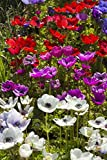 Bloomsz 09460 Anemone Coronaria Blend Flower Bulbs, Assorted
