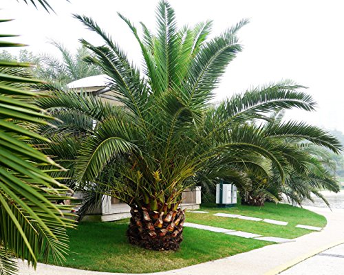 Canary Palm Trees (Pineapple Palm 5 seeds Phoenix canariensis Ornamental tree)