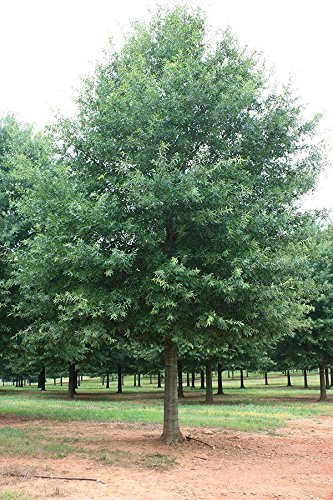 1 Willow Oak-(quercus phellos)