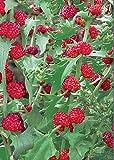 Herb Seeds Strawberry Spinach (Chenopodium Capitatum) Organic Heirloom