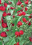 NIKITOVKA Seeds - Strawberry Spinach - 250 Seeds - NON-GMO