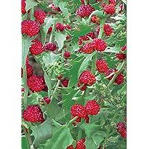 Herb Seeds Strawberry Spinach (Chenopodium Capitatum) Heirloom NON-GMO