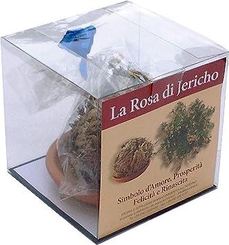 ECOCLASS Rose DE Jericho Jerico gericho Gerico salaginella lwpidophylla