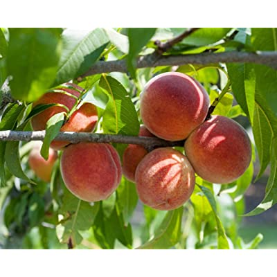 1 Gallon Peach Tree Potted TYK Plant, Cold Hardy, Fruit Bearing, Exceptionally Good Flavor (Red Haven) : Garden & Outdoor