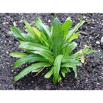 1 packet (3000+ seeds) - Culantro - Ngo gai - Mexican Coriander - Seeds : Garden & Outdoor