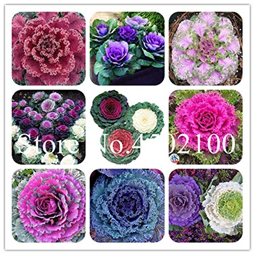 100 pcs/Bag Colorful Kale seedsflowering Ornamental Cabbage Vegetable Plant Flowering in Bonsai or Pot Garden Decoration: Mixed