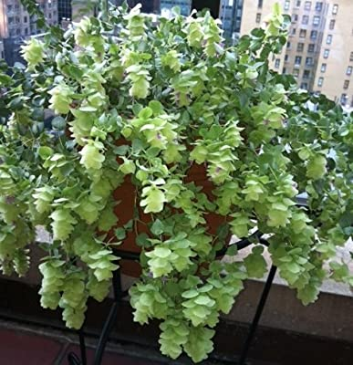 Kent Beauty Ornamental Oregano Plant > Origanum 'Kent's Beauty' >Landscape Ready 5.5 Inch Container