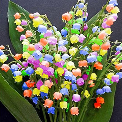 Iekofo Seed house - 100 pcs Fragrant Rarities Lilies of The Valley Flower Bulbs Multifarben Hardy Perennial