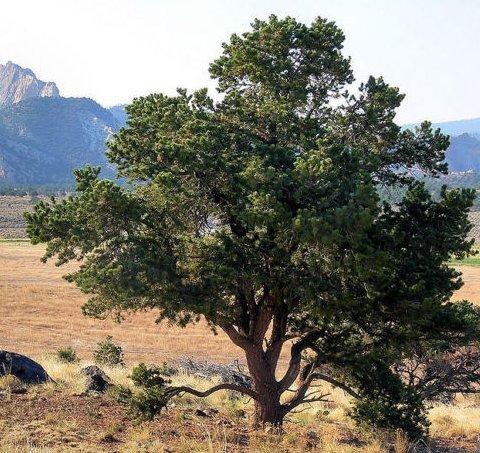 (New Colorado Pinyon Pine, Pinus edulis, Tree 10 Seeds (Hardy Evergreen,)