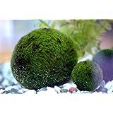 Luffy Marimo moss Balls - Healthy Fluffy Green Java Moss Balls Aquarium X 1