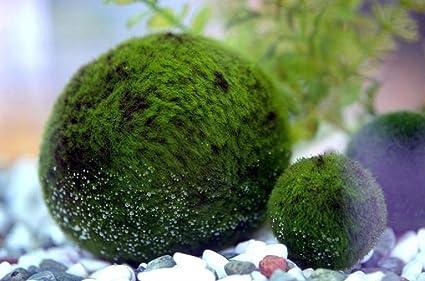 Luffy Marimo Musgo bolas – saludable Fluffy Verde Java bolas de musgo Acuario x 1