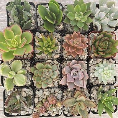 2 inch Assorted Succulents 16 Pack : Garden & Outdoor