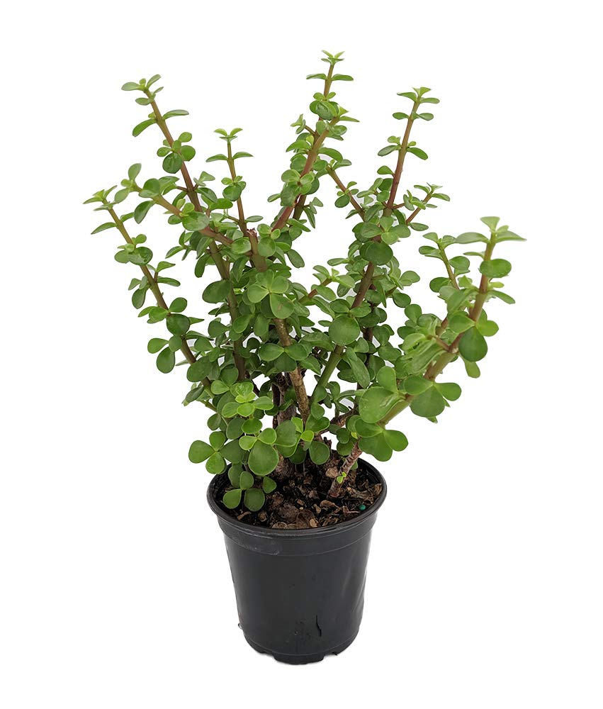Mini Jade Plant   Portulacaria afra   12.12