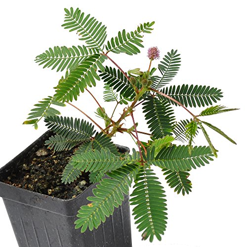 This plant will bring hours of entertainment to kids of any age. The Fairy Sensitive Plant actually closes when you touch its leaves. The fine leaflets open in the daylight, yet when touched will collapse downward. Give them an hour or so and...