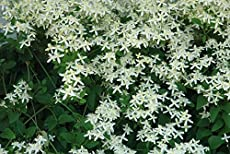 20 most fragrant herbs flowers for an aromatic garden clematis sweet autumn vine white mightylinksfo