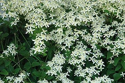 Amazon clematis sweet autumn vine white perennial flower clematis sweet autumn vine white perennial flower 35 seeds groco mightylinksfo