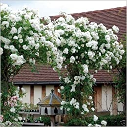 Amazon Climbing Rose Seeds White Flowers Perennials Fence