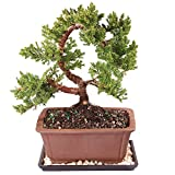 Brussel's Green Mound Juniper Bonsai - Medium (Outdoor) with Humidity Tray & Deco Rock