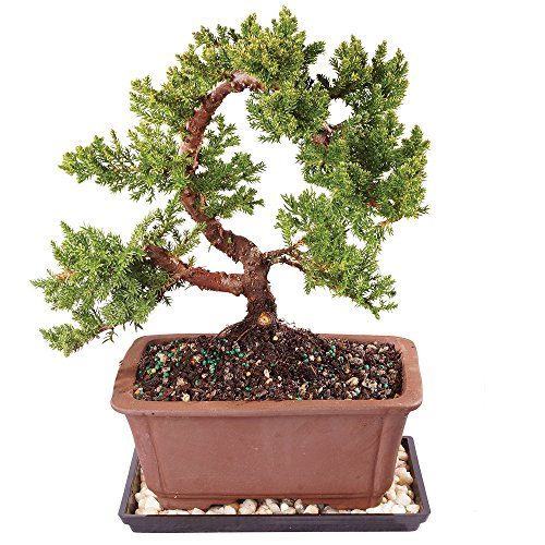 Brussel's Green Mound Juniper Bonsai - Medium (Outdoor) with Humidity Tray & Deco Rock by Brussel's Bonsai