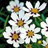 Star Cluster Coreopsis Tickseed Perennial - Live Plant - Gallon Pot