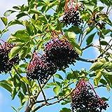 Earthcare Seeds American Black Elderberry 50 Seeds (Sambucus canadensis) No GMO, Heirloom