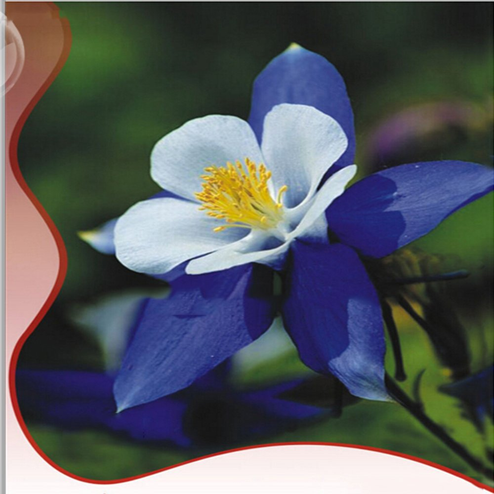 Amazon best garden seeds rare blue columbines aquilegia seeds amazon best garden seeds rare blue columbines aquilegia seeds balcony bonsai plant flowers seeds original pack 55 seeds hardy beautiful flower izmirmasajfo