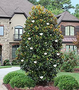 1 Starter Plant of Little Gem Magnolia