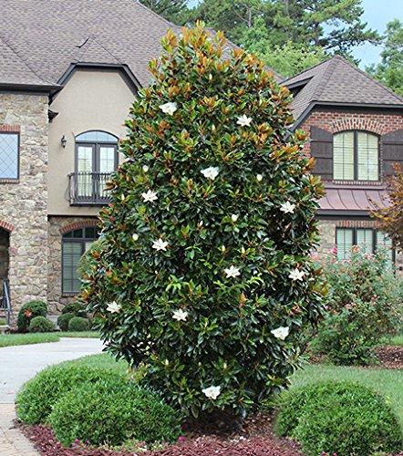 1 Starter Plant of Little Gem Magnolia (Nh Gem)