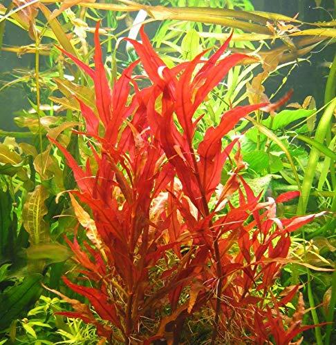 Mainam Alternanthera Reineckii VAR. Roseafolia Telanthera Freshwater Red Stem Live Aquarium Plant