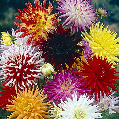 Discount Dahlia Cactus Hybrid 50 Seeds - Colorful!
