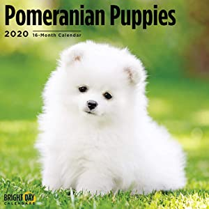 2020 Pomeranian Puppies Wall Calendar by Bright Day, 16 Month 12 x 12 Inch, Cute Dogs Animals Pom-Pom Canine