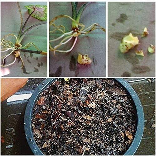 Queen of The Leafykataika Ornamental Plants Fresh Thai 1 Bulb Caladium Plants