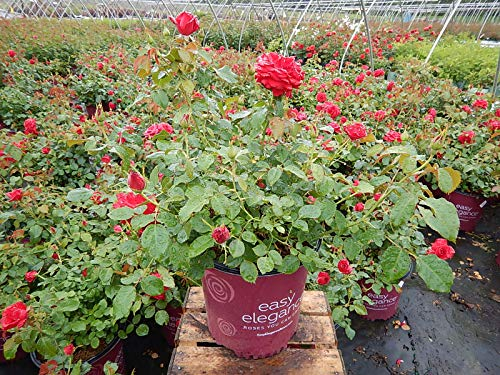 Easy Elegance Roses - Rosa Super Hero (Rose) Rose, red flowers, #2 - Size Container by Green Promise Farms (Image #4)