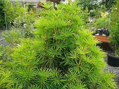 1 Starter Plant of Sciadopitys Verticillata - Japanese Umbrella Pine - Umbrella Pine Tree