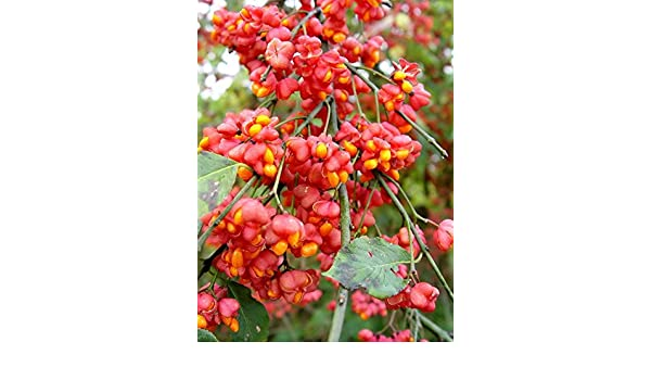 Cold Hardy European Spindle Euonymus Europaea Tree or Shrub 15 Or 100 Seeds
