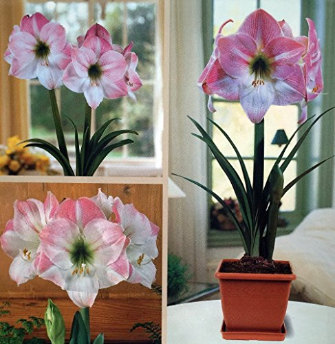 (Amaryllis Kit: Apple Blossom + Plastic Pot & Soil - 26/28 cm Bulb -)