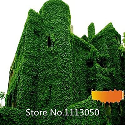 Promotion New Arrival Home Garden Plant 100 Seeds Virginia Creeper Vine Parthenocissus seeds Quinquefolia flower Seeds : Garden & Outdoor