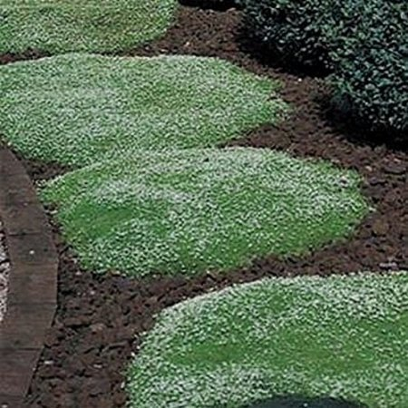 Green Leaf ® (Rockery grass) Irish Moss - 2000 Seeds