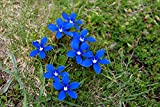 20 Gentiana verna Seeds.The spring gentian Seeds