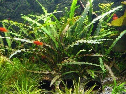 Cryptocoryne Spiralis - Live Aquarium Plant