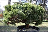 15 Seeds Pinus mugo mughos (Mugo Pine) Bonsai